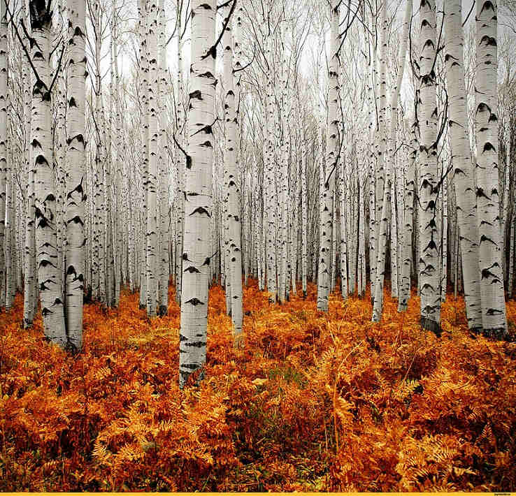 Silver forest,  Colorado, USA.