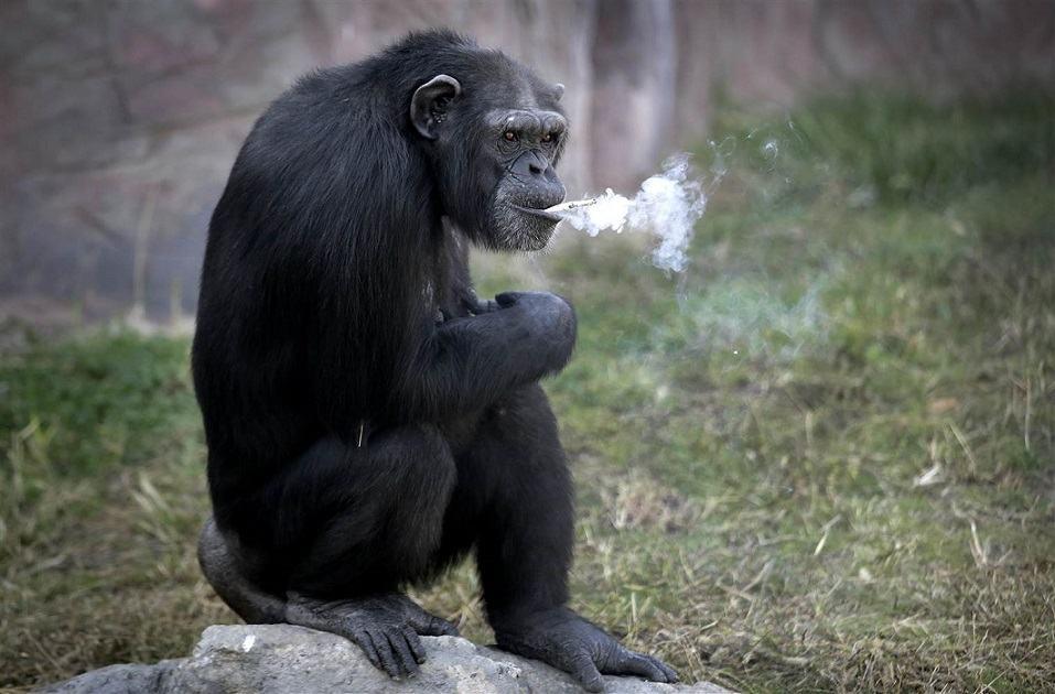 161019-world-northkorea-smoking-chimp-exhale-0909_eda8221ce94a44038a48a1bfaee373da.nbcnews-ux-2880-1000