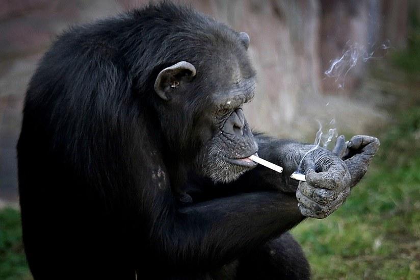 north_korea_smoking_chimp-3