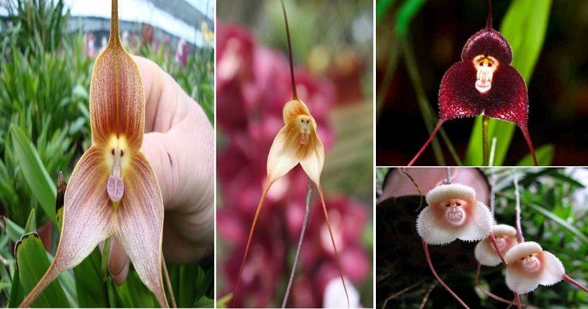 Rare-Monkey-Orchid-Showcases-in-Aquamarine-Fukushima-in-Japan