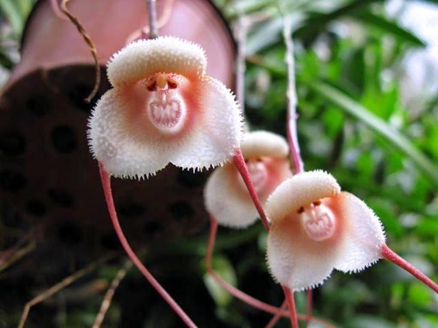 monkey-flower-shape