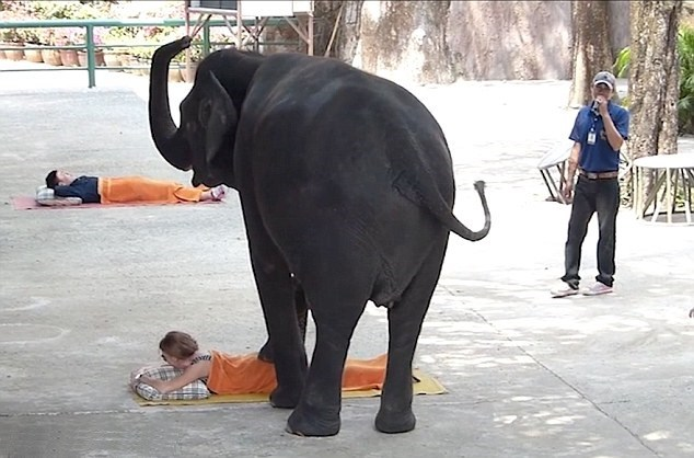 2528D8B800000578-0-Just_relax_The_elephants_administer_the_massage_using_both_their-m-7_1422525927933